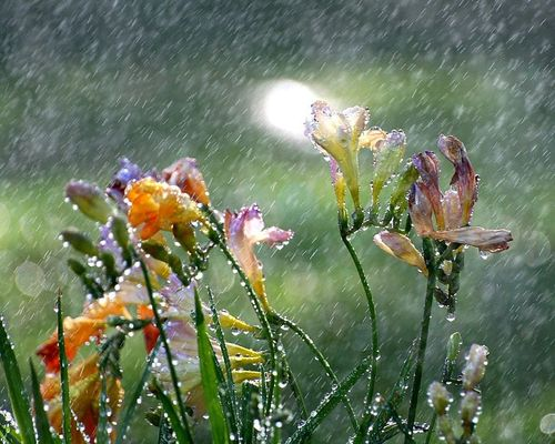 Freesia in the Spring rain - By John Morgan @ Flickr Creative Commons by jujuba