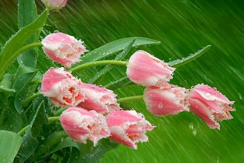 Parrot Tulips in the Rain-----Don Paulson  by artemis