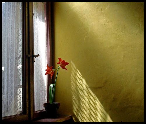 Hippeastrum and Shadow by anducina
