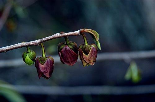 Spring Beauties (Pawpaw tree) by nmess