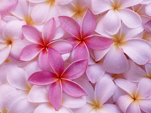 Tropical Plumeria by Mary172