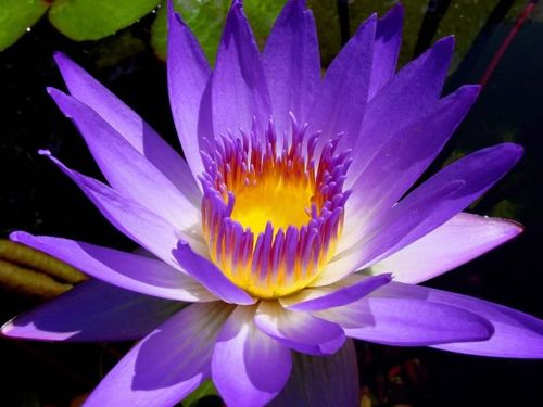 TROPICAL WATER LILY by lilly