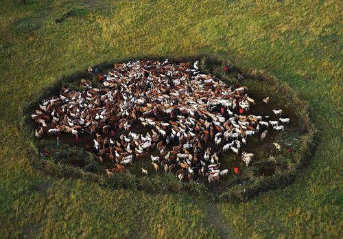 Troupeau en cercle dans le Parc National Masai Mara, Kenya